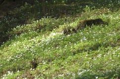 套在一个绿色倾斜的春天报春花与一个老树桩 免版税库存照片