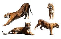 套在白色的老虎 免版税库存图片