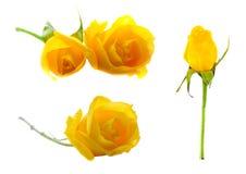 套在白色背景的五朵黄色玫瑰 库存照片