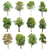 套在白色背景的被隔绝的树 免版税库存图片