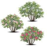 套夹竹桃与绿色叶子和花的夹竹桃灌木 向量例证