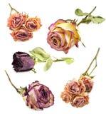 套干燥玫瑰 免版税库存照片