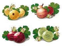套成熟鹅莓 免版税库存照片