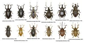 套欧洲象鼻虫甲虫  库存图片