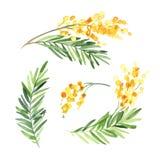 套水彩含羞草在白色背景的花孤立 向量例证
