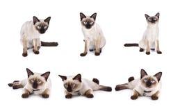 套泰国猫是一只传统或老式暹罗猫 库存照片
