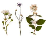 套狂放烘干被按的花和叶子 免版税库存图片