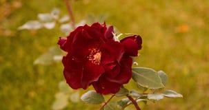 套秋天玫瑰园英尺长度  影视素材