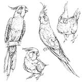 套逗人喜爱的滑稽的小形鹦鹉鹦鹉 免版税库存图片