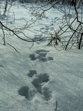 套野兔森林的脚印 免版税库存图片
