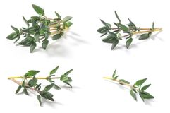 套麝香草新鲜的草本胸腺寻常的灌木 库存图片