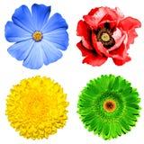套4在1花:黄色菊花、绿色大丁草、蓝色樱草属和红色被隔绝的鸦片花 免版税图库摄影