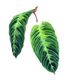 套2片热带叶子 向量例证