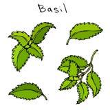 套绿色蓬蒿草本分支和叶子 现实手拉的乱画样式剪影 在a隔绝的传染媒介例证 免版税库存照片