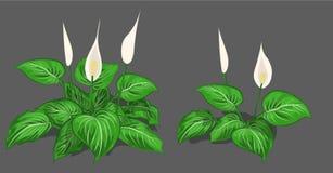 套水芋属灌木和r白花 免版税库存图片