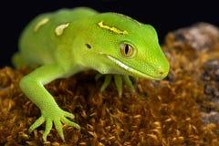 奥克兰绿色壁虎Naultinus elegans 免版税图库摄影