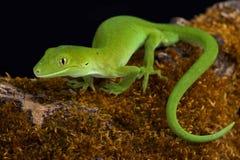 奥克兰绿色壁虎Naultinus elegans 免版税库存照片