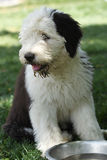 奥利维亚,一只母老英国护羊狗小狗 库存图片