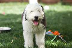 奥利维亚,一只母老英国护羊狗小狗 库存照片