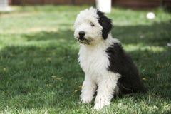 奥利维亚,一只母老英国护羊狗小狗 免版税库存图片