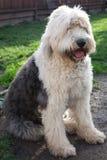 奥利维亚,一只母老英国护羊狗 库存图片