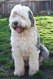 奥利维亚,一只母老英国护羊狗 库存照片
