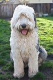 奥利维亚,一只母老英国护羊狗 免版税库存图片