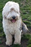 奥利维亚,一只母老英国护羊狗 免版税图库摄影