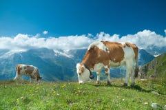 奥地利母牛 免版税库存照片