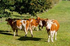 奥地利 奶牛在阿尔卑斯包围的一个高山草甸吃草 库存照片
