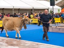 奥维耶多,西班牙- 2018年5月12日:Ð ¡ ows和公牛最佳在它的品种 免版税图库摄影