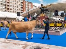 奥维耶多,西班牙- 2018年5月12日:在繁殖的陈列的母牛在 免版税库存图片