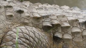 奥里诺科河鳄鱼的标度和Scutes,哥伦比亚 影视素材