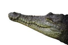 奥里诺科河鳄鱼被隔绝的头射击 免版税图库摄影