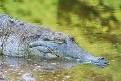 奥里诺科河鳄鱼 免版税库存图片