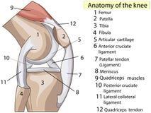 女主持人 预订 结构膝盖关节传染媒介 向量例证