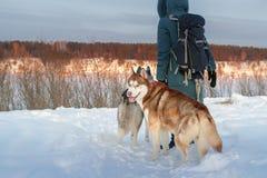 女孩和两条西伯利亚爱斯基摩人狗 看照相机的布朗多壳的狗 在背景晚上冬天风景的背面图 免版税库存图片