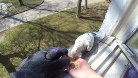 女孩哺养的鸟鸠用在家庭窗口的手 影视素材