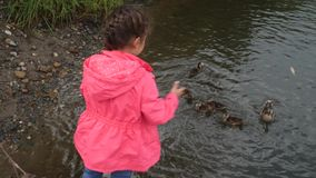 女孩哺养的鸭子在公园 孩子投掷面包对一只鸭子用她的鸭子 4K 股票录像