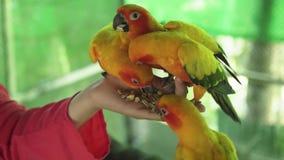 女孩哺养鹦鹉爱情鸟股票英尺长度录影 股票视频