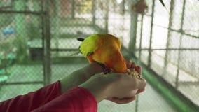 女孩哺养鹦鹉爱情鸟股票英尺长度录影 股票录像
