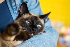 女孩在他的手上拿着一只美丽的暹罗猫 库存照片