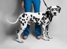 女孩在前面显示一条达尔马希亚狗 免版税库存照片