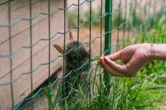 女孩在动物园里哺养逗人喜爱的小的兔子 免版税图库摄影