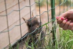 女孩在动物园里哺养逗人喜爱的小的兔子 库存图片