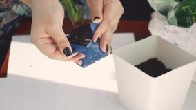 女孩在家移植罐的绿色植物 影视素材