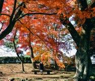女孩坐在秋天季节的红槭树,彦根,日本下 免版税图库摄影