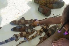女孩宠爱鲨鱼 布朗-在海世界圣地亚哥加利福尼亚的被结合的竹鲨鱼 库存图片