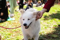 女孩宠物美国爱斯基摩狗在公园 免版税库存图片