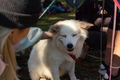 女孩宠物美国爱斯基摩狗在公园 免版税库存照片